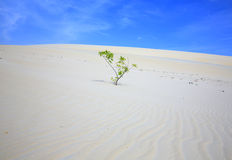 Alone tree in White Sand Dunes Royalty Free Stock Photo
