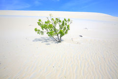 Alone tree in White Sand Dunes Royalty Free Stock Image