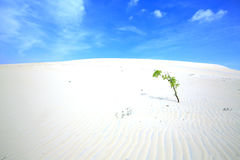Alone tree in White Sand Dunes Royalty Free Stock Images