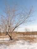 Alone tree on the winter meadow Stock Photography