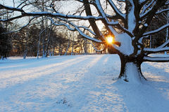 Alone tree in winter park. Stock Photography