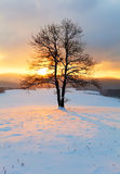 Alone tree in winter sunrise landscape - nature.  Stock Images