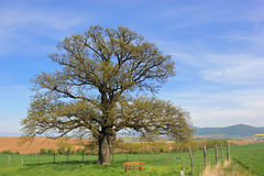 Alone tree - 300 year old Oak. Old tree Royalty Free Stock Images