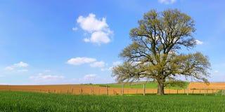 Alone tree - 300 year old Oak. Old oak tree on spring fields Royalty Free Stock Photos