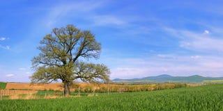 Alone tree - 300 year old Oak. Old oak tree on spring fields Stock Image