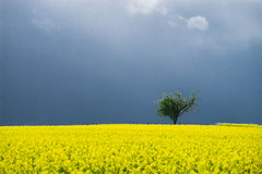 Alone tree in yellow field. With dark stormy clouds Stock Photos