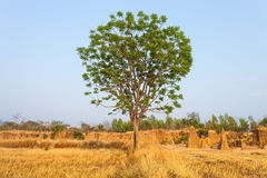 Alone tree. On yellow meadow and sky Stock Photos