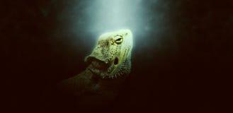 Alone verde chiaro intorno alla testa dell'iguana Immagini Stock
