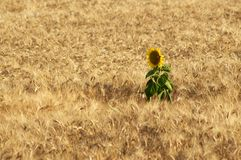 Alone in the wheat. A sunflower inside a wheat field Royalty Free Stock Image