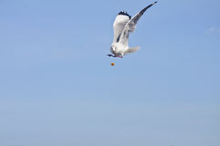 Alone white seagull catch food in blue sky Royalty Free Stock Photos