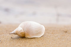 Alone white shell on a sand beach. Close-up. Royalty Free Stock Images