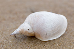 Alone white shell on a sand beach. Close-up. Stock Photo