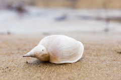 Alone white shell on a sand beach. Close-up. stock photography