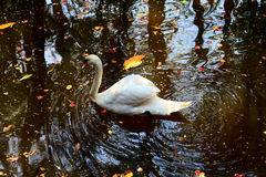 Alone white swan Royalty Free Stock Images
