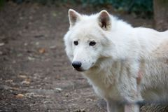 Alone white wolf in the forest closeup.  Royalty Free Stock Images