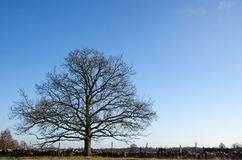 Alone and wide old oak tree Stock Photography