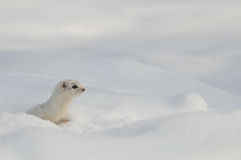 Alone winter Least Weasel in temporal snow burrow Stock Photos