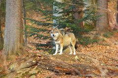 Alone Wolf Stock Photo