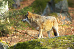Alone Wolf in Forest Royalty Free Stock Photography