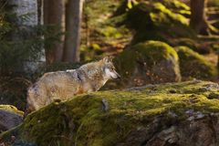 Wolf in the forest. Alone wolf from profile in the forest Royalty Free Stock Photos