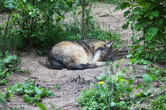 Alone Wolf Sleeping Stock Images