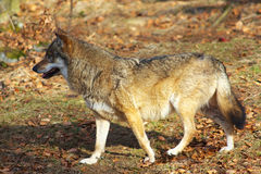 Alone Wolf Stock Photography