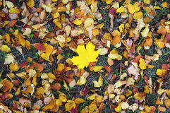 Alone yellow maple leaf among other colored leaves Royalty Free Stock Photography