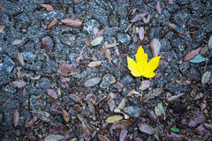 Alone yellow maple leaf on a road Royalty Free Stock Photography