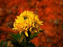 Alone yellow marigold. stock photos