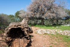 Alonei Abba naturreserv på våren Arkivbilder