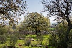 Alonei Abba naturreserv på våren Arkivbild