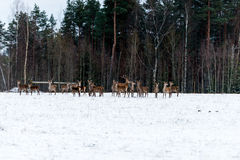 Along the edge of the forest walking bunch of deer. Stock Photography
