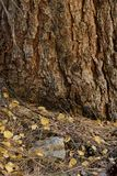 Lodgepole pine and fallen leaves in Big Pine Canyon, Inyo National Forest, Sierra Nevada Range, California Stock Image