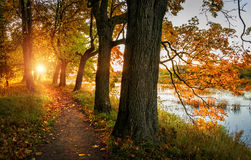 Along the path to the sun. Oak Alley in morning sun of warm autumn Royalty Free Stock Photography