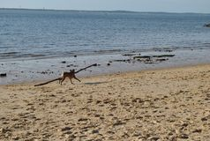 A dog with a huge stick is running on the sea beach royalty free stock photography