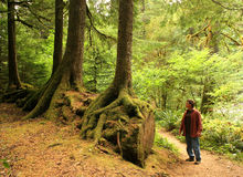 Along the Trail. A man observing a unique growth of trees along a trail in the forest Stock Images