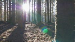 Alonga del movimiento de la cámara una trayectoria a través en un bosque spruce almacen de metraje de vídeo