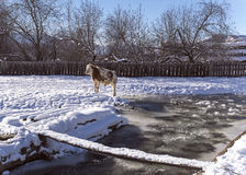 Alonge cow stay near mountain river in the winter snowy time Stock Image