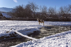 Alonge cow stay near mountain river in the winter snowy time. Cow stay near mountain river in the winter snowy time Stock Photography