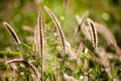 Alopecuriodes de Pennisetum d'herbe de fontaine de Pennisetum une herbe éternelle ornementale images libres de droits