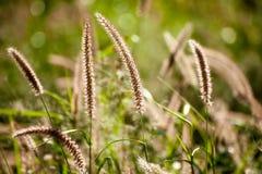 Alopecuriodes för Pennisetum för Pennisetumspringbrunngräs ett dekorativt perent gräs royaltyfria bilder