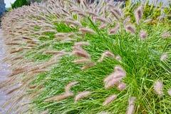 Alopecuroides del Pennisetum - erba di fontana della decorazione del giardino Fotografia Stock Libera da Diritti