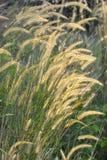 Alopecuroides del Pennisetum o erba di coda di volpe della palude Immagine Stock