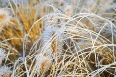 Alopecuroides gelés de pennisetum, fountaingrass pendant l'hiver froid image stock