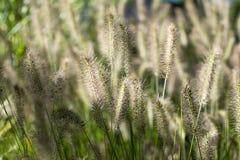 Alopecuroides Pennisetum Стоковое фото RF