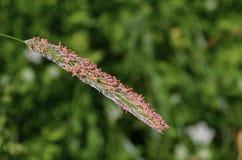 Alopecurus della pianta Fotografia Stock