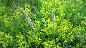 Alopecurus, or foxtail grass panicles Stock Image