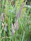 Alopecurus pratensis Fotografie Stock