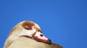 Alopochen ägyptiacus Stockfotografie