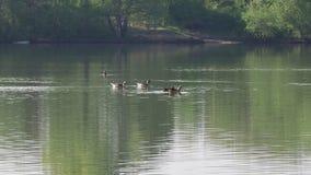 Alopochen ägyptiacus und graue Gänse, die über einem See schwimmen stock video footage